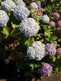 Light purple hydrangea flowers in garden. Nature and botany, decorative plant for gardens, natural flower with petals and colors Stock Photography