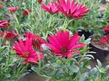 Red daisy flower in garden. Nature and botany, decorative plant for gardens, natural flower with petals and colors stock images