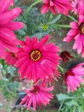 Red Daisy flowers in garden. Nature and botany, decorative plant for gardens, natural flower with petals and colors Stock Photo