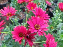 Red osteospermum flowers in spring. Nature and botany, decorative plant for gardens, natural flower with petals and colors Royalty Free Stock Image