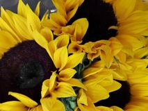 Three flowers of sunflower in a floral arrangement, background texture. Nature and botany, decorative plant for gardens, natural flower with petals and colors Stock Photography