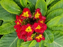 Primula, with small red flowers in the center of the green leaves. Nature and botany, decorative plant for gardens, natural small flowers with petals and colors Royalty Free Stock Photos