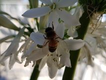 Bee collecting pollen from a white agapanthus flower. Nature and botany, environment and endangered species, flora and decoration for garden royalty free stock photos