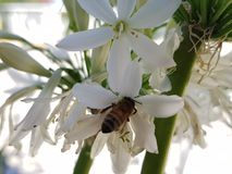 Bee collecting pollen from a white agapanthus flower. Nature and botany, environment and endangered species, flora and decoration for garden stock photo