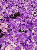 purple daisy flowers in a botanical garden, background and texture stock photo