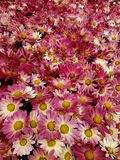 Red daisy flowers with white in a botanical garden, background and texture. Nature and botany, flora and natural life, flower petals with intense colors for royalty free stock images