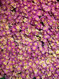 Purple daisy flowers in a botanical garden, background and texture. Nature and botany, flora and natural life, flower petals with intense colors for garden and stock photos
