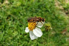 Bee collecting pollen in a white anemone flower. Nature and botany, natural flower with colorful petals for garden decoration royalty free stock photos