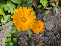Orange daisy flower in a garden. Nature and botany, natural flower with colorful petals for garden decoration stock images