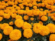 Orange marigold flowers in a garden. Nature and botany, natural flower with colorful petals for garden decoration stock images