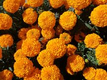 Orange marigold flowers in a garden. Nature and botany, natural flower with colorful petals for garden decoration stock photography