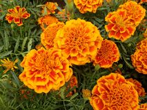 Orange marigold flowers with red in a garden. Nature and botany, natural flower with colorful petals for garden decoration stock image