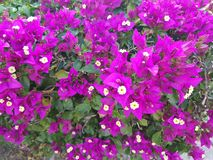 Purple bougainvillea flowers in garden. Nature and botany, natural flower with colorful petals for garden decoration Royalty Free Stock Photos