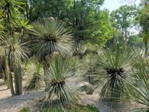 Variety of desert cactus and plants decorating a mexican garden. Nature and botany, variety desert cactus plants decorating mexican garden flora environment dry royalty free stock photos