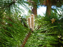 Nature. Branch or twig with needles of pine tree Stock Photo