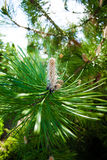 Nature. Branch or twig with needles of pine tree Stock Images