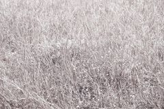 Grass white dry fantasy nature plant Royalty Free Stock Image