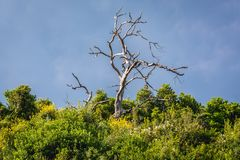Nature in Budva. Withered tree on a green hill in Budva, Montenegro Royalty Free Stock Image