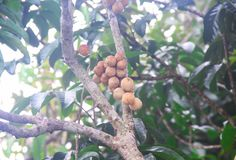 Nature bunch of southern langsat or longkong fruit hanging on tree in morning garden. Close up  Nature bunch of southern langsat or longkong fruit hanging on royalty free stock photography