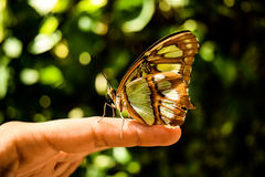 Nature butterfly. Beautiful butterfly on a finger royalty free stock photography