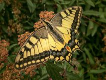 Nature, Butterfly, Swallowtail, Bug Stock Images