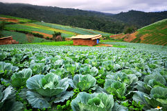 Nature of cabbage Stock Photography