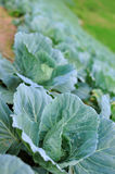 Nature of cabbage stock image