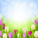 Nature Card With Tulips Stock Image