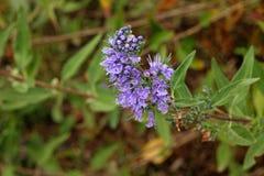 Nature. Caryopteris incana flowers, close-up Royalty Free Stock Photo