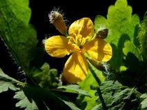 Nature - Chelidonium majus. Relax in the my garden Royalty Free Stock Photo