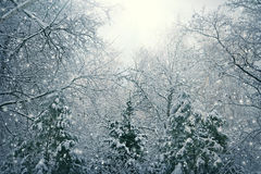 Nature Christmas background with snow Royalty Free Stock Image
