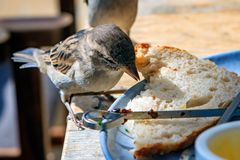 Nature in the city, a cheeky house sparrow eats along with the food on the table.