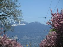 Nature in the City: View of Northshore mountains with blooming cherry blossom trees in the foreground, Vancouver, April 2018. Blue North shore mountains with Stock Photo