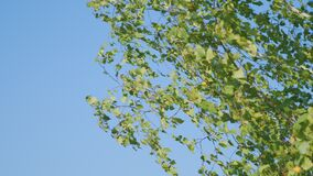 Nature clear blue sky background with birch branches, autumn foliage.