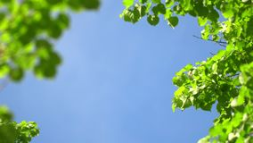 Nature clear blue sky background with fresh first spring foliage of trees as natural frame. Real time 4K video footage. stock footage