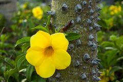 Yellow flower on a tree with thorns. stock image