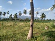Coconut tree caught on camera royalty free stock image
