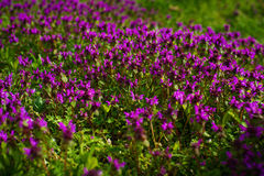 Nature Colorful Natural Blurred Background. Bokeh, Boke Wild Flowers With Sunlight Colors Absract Background. Wild thyme Thymus serpyllum . A dense group of stock photography
