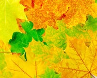 Colourful autumn maple leaves Stock Photos