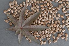 Castor Bean Ricinus communis - Leaf and Seeds. Nature concept with a leaf and serveral seeds of castor bean ricinus communis on slate board stock photos