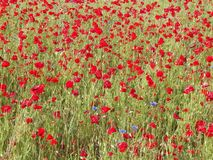 Red poppy flowers on meadow. royalty free stock photography