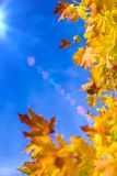 Nature Concepts. Autumn Yellow- Red Maple Leaves Placed as a Frame Against Blue Sky Background. Fall Themes. Vertical Image Orientation Royalty Free Stock Photo