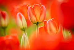 Spring tulips Royalty Free Stock Photos