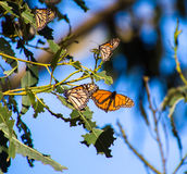 Nature Creatures. Butterflies. Butterfly Monarch on blue bacrground Royalty Free Stock Photos