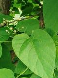 Nature& x27; cuori di verde di s fotografia stock