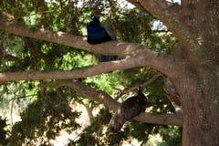 Nature d'été de la Grèce Rhodos de jardin de paonne de paon Photos stock