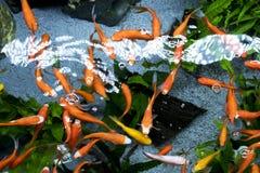 Nature d'animaux exotique d'aquarium de poissons Images libres de droits
