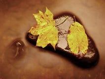 Nature d'automne Détail de feuille d'érable putréfiée de rouge orange Configuration de feuille de chute sur la pierre foncée dans Photos libres de droits