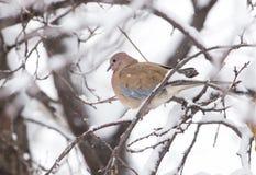 Nature d'hiver de colombe d'oiseau Image libre de droits