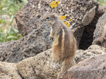 Nature de faune d'écureuil Image stock